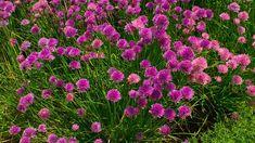 Pažitka může mít květy různých  barev. Garden, Plants, Flowers, Compost, Garten, Lawn And Garden, Gardens, Plant, Gardening