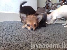 Pin By Jayaboomitv On Chihuahua Male Puppy Pocket Dogs For Sale 2 Months Old Colombo Pocket Dog Dogs For Sale Chihuahua