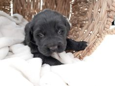 Prairie Willow Golden Mountain Dogs: Litters Adopt this sweet Golden mountain dog puppy from www.prairiewillowdogs,com Bernedoodle Puppy, Mini Goldendoodle, Bernese Mountain Puppy, Mountain Dogs, Puppies For Sale, Dogs And Puppies, Labrador Retriever, Adoption, Sweet
