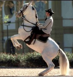 Courbette: As in the levade, the horse raises his forelegs and tucks them evenly towards his body. Support only by his back legs, he executes a series of forward hops. The strongest horses might succeed in completing five or more hops before touching the ground.
