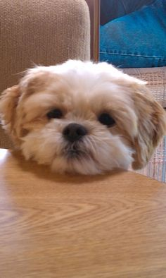 """Click visit site and Check out Best """"Shih Tzu"""" T-shirts. This website is top-notch. Tip: You can search """"your name"""" or """"your favorite shirts"""" at search bar on the top."""