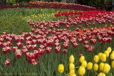 "500px / Photo ""Tapis de tulipes - Keukenhof NL"" by Michel Jean-Nicolas Weiland-Muller"