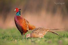 Ring-necked Pheasant (Phasianus colchicus) China