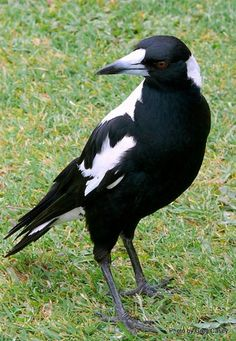Australian Magpie - Cracticus tibicen, is a medium-sized passerine bird native to Australia and southern New Guinea.