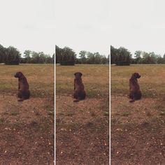 Wyczekując zająca.    Looking for a rabbit. #buba #pies #dog #lab #labradorretriever