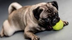 Image result for playful pugs
