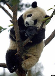 パンダ!パンダ!パンダ!