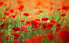 маки, цветы, весна, природа, лепестки