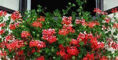 Mít okna obsypané muškáty je sen každého pěstitele