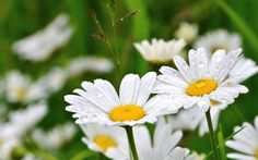 daisy wallpaper free hd widescreen, 2048x1282 (365 kB)