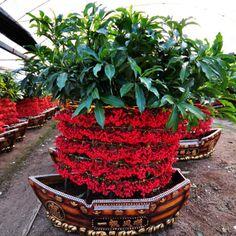 A Ardisia crenata Sims é uma espécie arbustiva de textura semi-herbácea, ereto, pertencente a família botânica Myrsinaceae, originária do Japão.