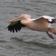 Roze pelikaan gespot in Zeeland (14-2-2014 in Wemeldinge)