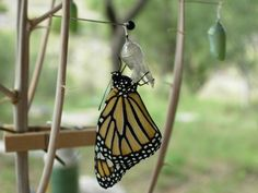 Raising monarch butterflies