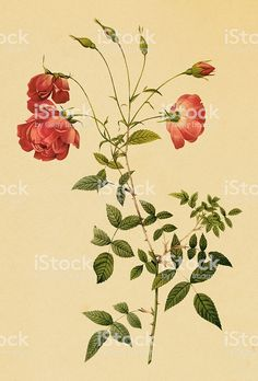 Antique illustration of a red tea rose with stem royalty-free antique illustration of a red tea rose with stem stock vector art & more images of rose - flower Antique Illustration, Botanical Illustration, Joseph, Flower Tea, Tea Roses, Free Vector Art, Illustrations, Antiques, Prints