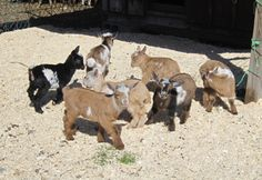 Welcome to the World of Nigerian Dwarf Goats