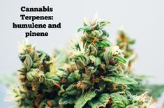 Read all about Cannabis Terpenes: humulene and pinene #marijuana #cannabis #weed #terpenes