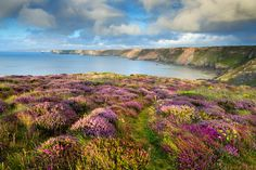 Heather at Deadman's Cove, Cornwall, UK. Picture: David Chapman. The International Garden Photographer of the Year 2013, Windflower Landscapes category.