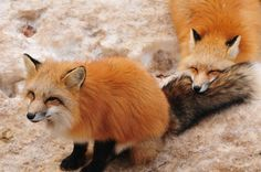 """neuroxin: """" sara-meow: """" expeliamuswolfjackson: """" red foxes at the zao fox village in japan """" Can someone please take me here dammit ToT """" that last fox face tho holy dogs so cute """""""