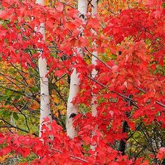 Acer rubrum Red Maple Autumn foliage with white birch tree trunks © Don Johnston White Birch Trees, Autumn Scenes, Fall Pictures, Autumn Leaves, Maple Leaves, Mother Nature, Nature Photography, Beautiful Pictures, Scenery