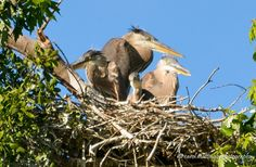 Great Blue Heron Mom and Babies, Heron Rookery, Old Hickory Lake, Hendersonville, TN