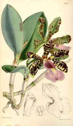 Cattleya aclandiae orchid botanical illustration by Walter Hood Fitch (1817-1892) from Curtis's Botanical Magazine, 1858