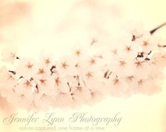 Pink & cream cherry blossoms - flower photography