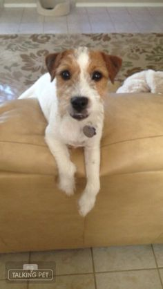 Bear the Jack Russell Terrier