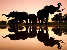 African elephants in Botswana photographed by television presenter Chris Packham