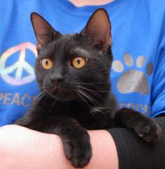 TJ, an athletic junior kitten, thinks ping pong balls are perfectly good toys.  He also goes wild for toys shaped like mice.  TJ is a fun-loving boy, 8 months young and neutered, good with other cats, ready for adoption at Nevada SPCA (www.nevadaspca.org).  Please kitten-proof your home for his safety.