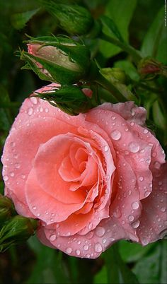 34 Ideas Flowers Beautiful Rose Colour For 2019 Beautiful Rose Flowers, Love Rose, Exotic Flowers, My Flower, Beautiful Flowers, Photo Rose, Flower Wallpaper, Pink Roses, Planting Flowers