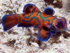 Beautiful Creatures of the sea Photos and information about sea creatures: The Mandarinfish or Mandarin dragonet