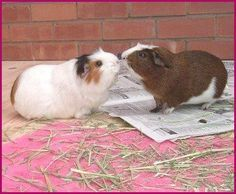 Great information on introducing guinea pigs to the herd! #guineapigherd