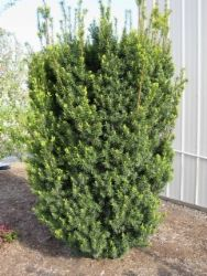 rabatt garten rabatt buskar Grobes Nursery and Garden Centre - Newest Evergreens Waterwise Landscaping, Plants, Landscaping Inspiration, Small Yard, Evergreen Landscape, Shrubs, Landscape Design, Garden Design, Garden