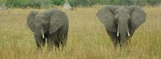 Why is the African Elephant's survival in jeopardy?