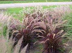 Penniseium red riding hood - Red Fountain grass