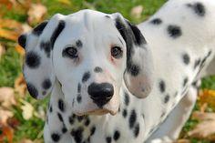 Dalmatian Dogs | Vixen the Dalmatian | Puppies | Daily Puppy