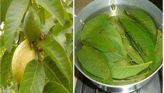 Estas folhas podem curar milagrosamente o diabetes e colesterol.
