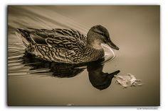Daisy Duck  #Deutschland #Germany #Göttingen #Ente #Duck #Tier #Animal #Bird #Vogel #Natur #Nature #Sepia #BW #Flickr #Foto #Photo #Fotografie #Photography #Travel #Reisen #德國 #照片 #出差旅行 #Urlaub #Schwarzweiß #monochrome #Blackandwhite