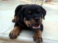 Rottweiler puppy 6 weeks old