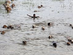 Indian boys swim with their cattle through flood waters as they try to take them to a safer place at Kholabuya, India. Monsoon floods inundated hundreds of villages across the northeast Indian state of Assam, killing several people and forcing some 800,000 people to leave their homes.  Anupam Nath, AP