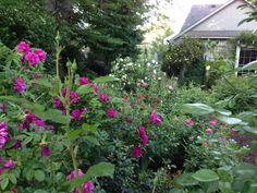"Rosa 'Roseraie de l'Hay' ""strong clove fragrance"""