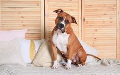 Download wallpapers American Staffordshire Terrier, brownish white dog, pets, large dogs