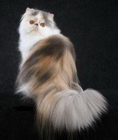 The Persian cat breed is among one of the most popular breeds for cat owners worldwide.