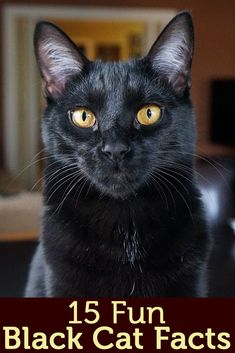 Halloween conjures images of pumpkins, bats, witches and, of course, black cats. Test your black cat knowledge with our 15 fun black cat facts! - Note - Black cats are my absolute fave :) Cats And Kittens, Ragdoll Kittens, Tabby Cats, Funny Kittens, Bengal Cats, White Kittens, Adorable Kittens, Kitty Cats, Cat Facts