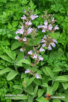 Permaculture Plants: Sage | Temperate Climate Permaculture