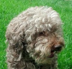 Meet Nicholas a Petfinder adoptable Poodle Dog | Glen Ellyn, IL | We welcome your questions. Due to high volume of applications, we may not be able to respond...