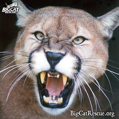 Cody cougar is having a roaring great weekend, how about you?