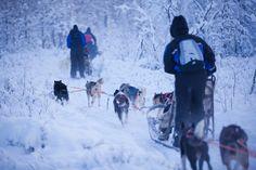 #dogsledding #husky #animal
