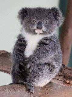 Chubby little guy 😂😍 Cute Baby Animals, Animals And Pets, Funny Animals, The Wombats, Australian Animals, Mundo Animal, Spirit Animal, Animal Photography, Baby Koala