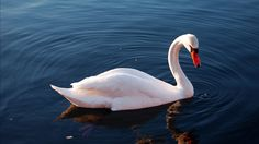 beautiful pictures of mute swan  by Melba MacDonald (2017-03-27)
